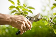 Pruning a small tree with pruning shears